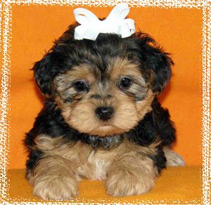 The Yorkie Poo The William Mary Blogs