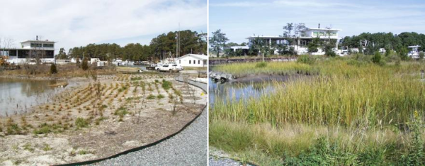 The just-planted teaching marsh and its growth one year later.