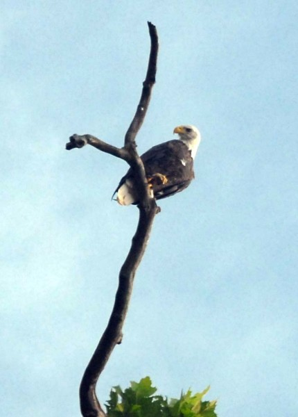 Bald Eagle perched high above the river (photo by Scott Harris).