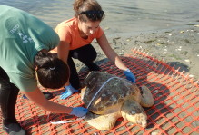 Bianca researching Turtle mortality in Chesapeake Bay