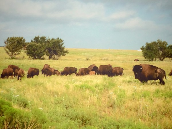 Wild bison roam the plains at the Wichita Wildlife Refuge in Oklahoma.