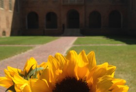 A sunflower in front of the Wren Building