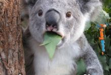 "A koala with leaves sicking out of its mouth captioned, ""That moment when you realize you had homework."""