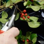closeup of a hand clipping sprigs of holly leaves and berries