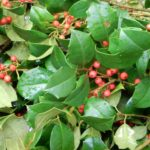 holly leaves with pinkish berries
