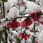 closeup of small, hot pink flowers on branches covered in snow