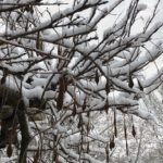 Leafless stems of a thick wisteria vine with dropping seed pods, all covered in snow.