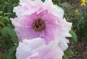 Closeup of purple tree peonies in bloom