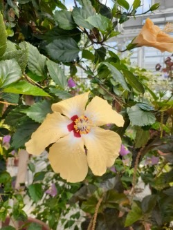 Large yellow flower, open with a white and pink center on tall stalks of green leaves.