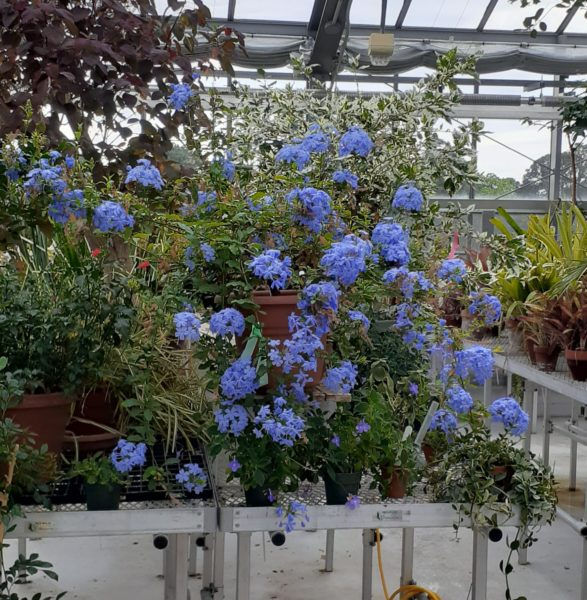 Clusters of blue-ish purple blooms on potted plants sitting on raised tables, surrounded by other potted plants.