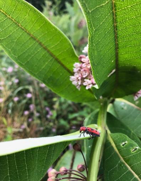 A red longhorned milkweed beetle perched on the leaf of a green common milkweed plant